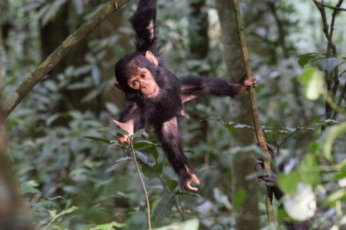 chimpanzee trekking in Kibale, Uganda classic safari