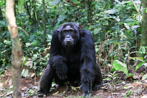 Chimps trekking Uganda