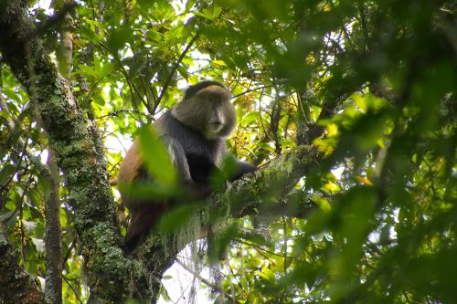 golden monkey trekking in Mgahinga Uganda