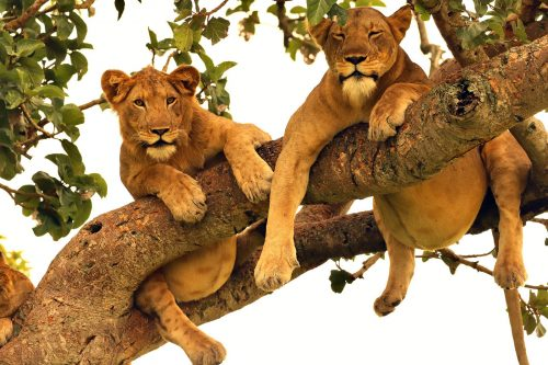Tree climbing lions of Ishasha Sector in QENP