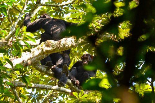 Chimpanzee trekking in kalinzu forest reserve