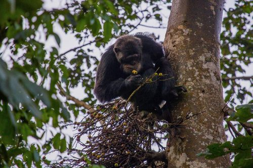 Chimps in kalinzu forest reserve
