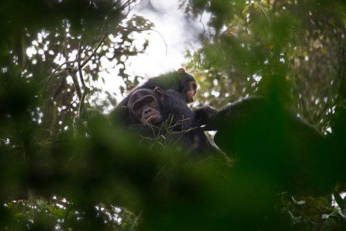 Chimpanzee treks in kalinzu forest reserve