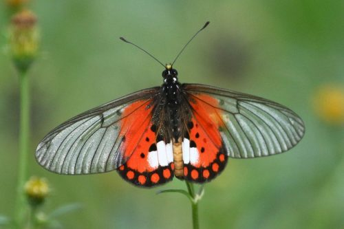 Butterflies in kalinzu forest reserve