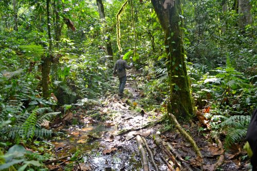 Walking safari in kalinzu forest and chimpanzee trekking